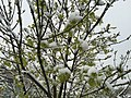 2015-05-07 07 42 28 New green leaves covered by a late spring wet snowfall on an Ash sapling on South 1st Street in Elko, Nevada.jpg
