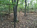 2015-09-19 08 37 11 White-tailed deer in a wooded area within the Franklin Farm section of Oak Hill, Virginia.jpg