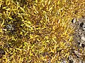 2015-10-31 10 07 05 Willow with yellow autumn foliage along the Mount Rose Trail about 2.9 miles northwest of Mount Rose Summit, Nevada.jpg