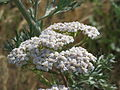 20150722Achillea millefolium1.jpg