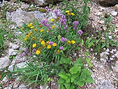 2017-07-23 (44) Origanum vulgare (oregano) and Buphthalmum salicifolium (ox-eye) at Dürrenstein (Ybbstaler Alpen).jpg