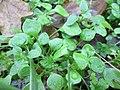 20171130Claytonia perfoliata2.jpg