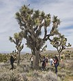 2017 Student Summit on Climate Change - Joshua tree Monitoring Project - Students count the branches of a Joshua tree (33452983086).jpg