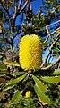 2018-01-31 171323 Banksia Attenuata, Nambung National Park, West Australia anagoria.jpg