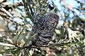 2018-01-31 171405 Banksia Attenuata, Nambung National Park, West Australia anagoria.JPG
