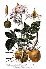 Ľuľok zemiakový - zemiak (Solanum tuberosum)