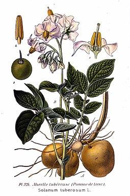 234 Solanum tuberosum L