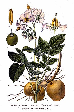 Description de l'image 234 Solanum tuberosum L.jpg.