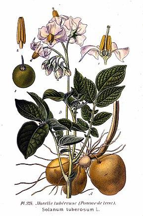 foto de Pomme de terre — Wikipédia