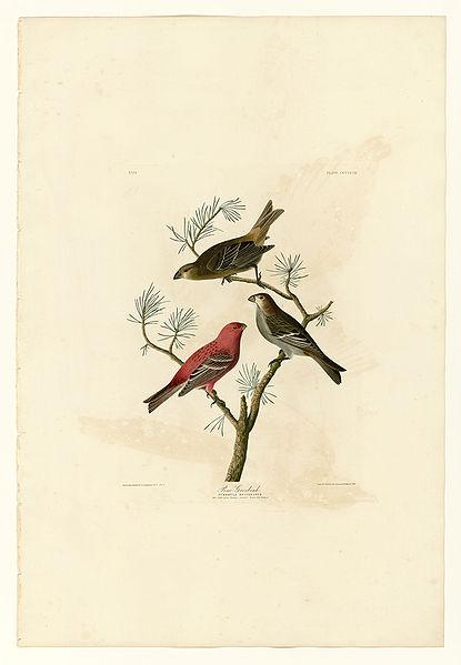 File:358 Pine Grosbeak.jpg