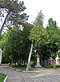 46-106-5010 Drohobych Thuja RB 18.jpg