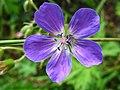 4873 - Mürren-Gimmelwald - Flower.JPG
