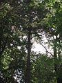 829. sosna koreańska gdansk.jpg