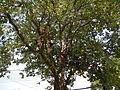9757jfSyzygium cumini Santa Trinidad Angeles Cityfvf 06.JPG