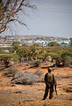 AMISOM Combat Engineers search for IEDs in Kismayo 04 (8093687744).jpg