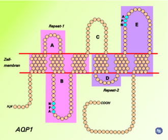 Aquaporin - Schematic diagram of the 2D structure of aquaporin 1 (AQP1) depicting the six transmembrane alpha-helices and the five interhelical loop regions A-E