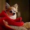 A 15 years old Chihuahua.jpg