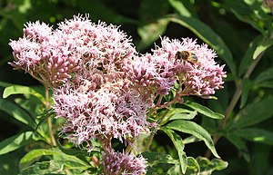 English: A Honey Bee feeding on Eupatorium can...