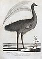 A New Holland cassowary. Etching by P. Mazell after Lieutena Wellcome V0022861EL.jpg
