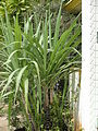 A aesthetic sugarcane2.JPG