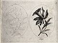 A daffodil (Narcissus species); two flowering stems, one in Wellcome V0044175.jpg