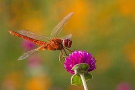 A dragonfly.jpg