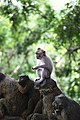 A grey macaque is thinking alone.jpg