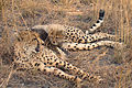 A little cheetah lying on his mom A.jpg