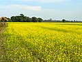 A mustard field with a thatch house, Lakhimpur.jpg