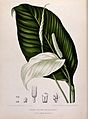 A plant (Spathiphyllum minahassae T. & B. Tjariang Poetie); Wellcome V0042703.jpg