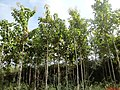 A teca (Tectona grandis) também chamada de teak ou djati é uma árvore de grande porte que pode alcançar até 50 metros de altura e possui uma madeira de alta qualidade, usada principalment - panoramio.jpg