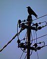 Aaskrähe auf Strommast 2012.JPG
