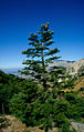Abies Nebrodensis in Madonie Mountains.jpg