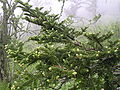 Abies fraseri branch.jpg