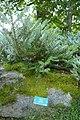 Abies koreana-Jardins de Callunes (4).jpg