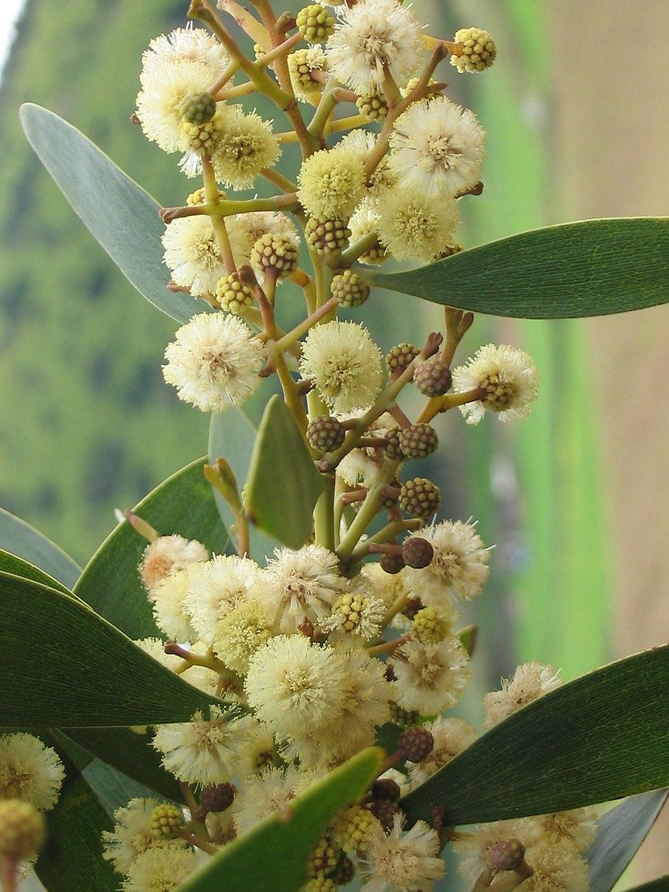 Acacia melanoxylon (Flowers)