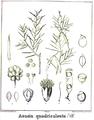 Acacia quadrisulcata.PNG