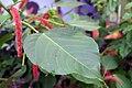 Acalypha hispida in U.S. Botanic Garden.jpg