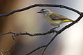 Acanthiza chrysorrhoa - Yellow-rumped Thornbill.jpg