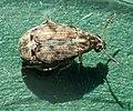 Acanthoscelides obtectus TP01.jpg