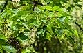Acer buergerianum in Eastwoodhill Arboretum (6).jpg