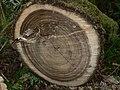 Acer macrophyllum 39149.JPG
