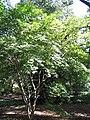 Acer palmatum amoemum 2zz.jpg