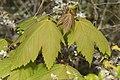 Acer pseudoplatanus 120625633.jpg