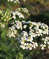 Achillea millefolium 1.1.jpg
