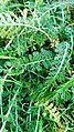 Achillea millefolium 106780355.jpg