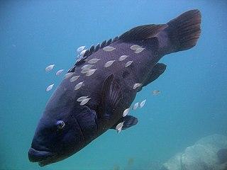 <i>Achoerodus viridis</i> species of fish