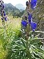 Aconitum napellus inflorescence (24).jpg