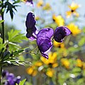 Aconitum sp.-IMG 5588.jpg