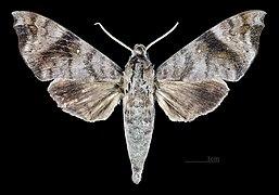 Acosmeryx socrates MHNT CUT 2010 0 171 eastern visayas Philippines male dorsal.jpg